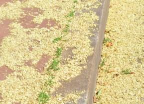 plante_mellifere_Le_sophora_du_Japon_jacques_piquee_coopapiloire (6)
