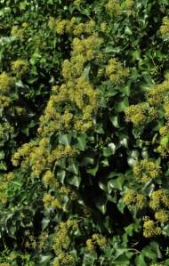 plante_mellifere_lierre_des_Canaries_jacques_piquee_coopapiloire (5)