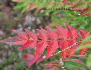 plante_mellifere_mahonia_hybride_jacques_piquee_coopapiloire (4)
