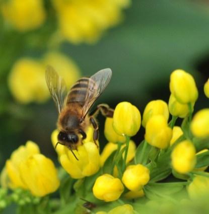 plante_mellifere_mahonia_hybride_jacques_piquee_coopapiloire (6)