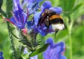 plante_mellifere_vipyrine_commune_jacques_piquee_coopapiloire (7)