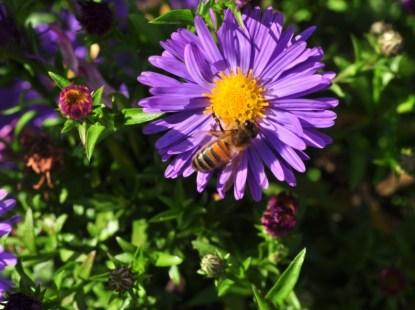 plante_mellifere_asters_dautomne_jacques_piquee_coopapiloire (11)