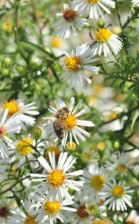 plante_mellifere_asters_dautomne_jacques_piquee_coopapiloire (3)