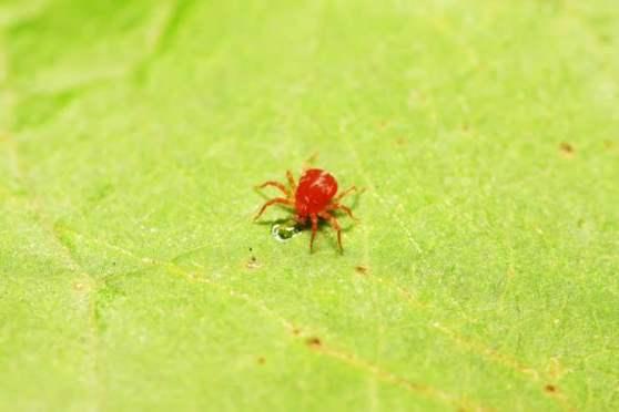 I ragnetti rossi minuscoli animaletti da tenere alla larga dall'orto