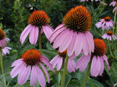 Native Plants vs Cultivars–does it matter?
