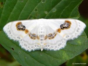 Problepsis vulgaris - moth