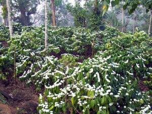 Coffee-Blossom