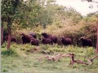 Nagarhole_bisons