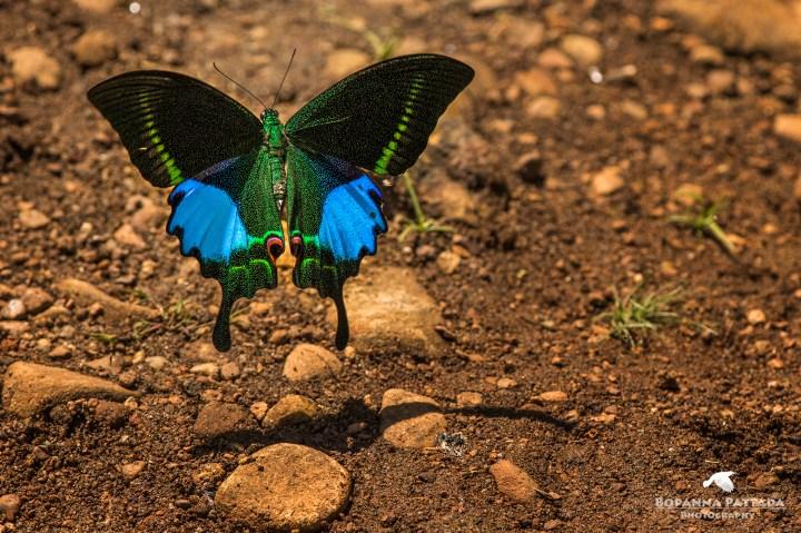 malabar banded peacock 2