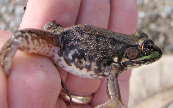 Copeland Frog