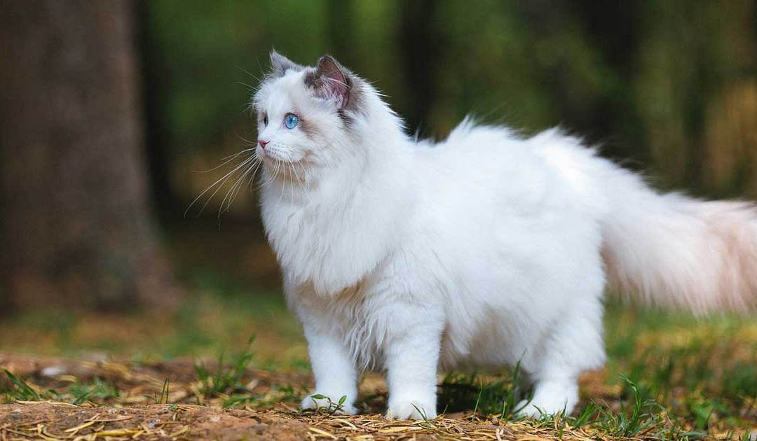 What is the Average Ragdoll Lifespan?