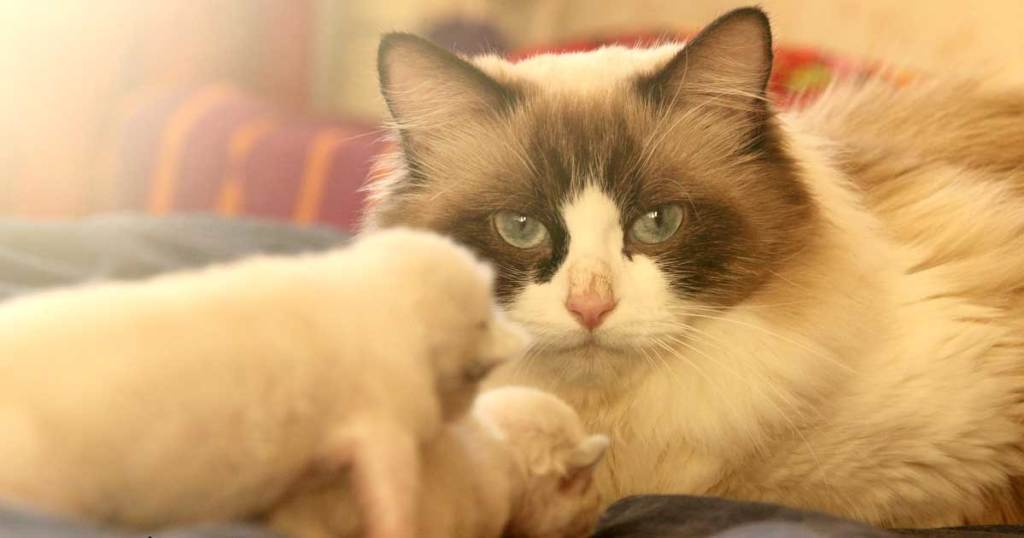 Where To Find Free Ragdoll Kittens