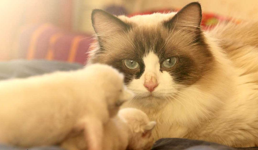 Where To Find Free Ragdoll Kittens?