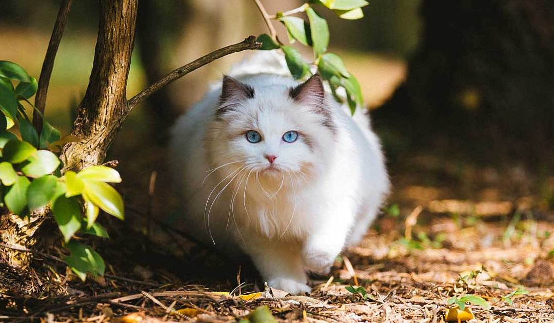 Where to Find Ragdoll Kittens for Sale?