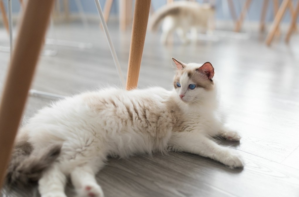 Training Your Ragdoll Cat to Do Tricks