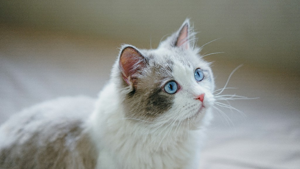 Tricks for Treats; What are some tricks that you can teach your Ragdoll cat?