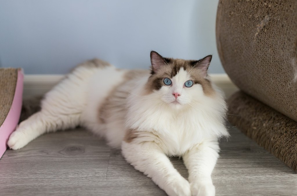 What it Costs to Care for a Ragdoll cat?