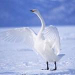 Graceful Swans Puzzle
