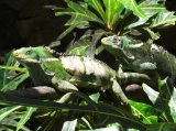 Iguanas at Kula Eco Park, Coral Coast, Fiji
