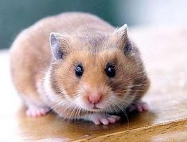 hamster-460_1014550c