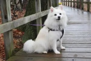 canadian-eskimo-dog-breed