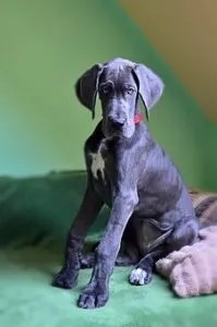great-dane-sitting