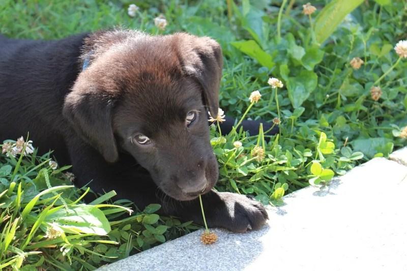 puppy-labrador