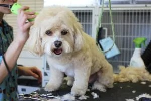 white-dog-getting-groomed