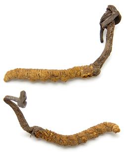 cordyceps tcm