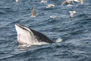Whale Watching trip West Cork, minke whale