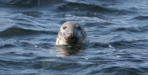 Grey seal, West Cork by Padraig Whooley
