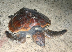 Juv Loggerhead turtle, Wexford Jan 2008, Tony Murray, NPWS
