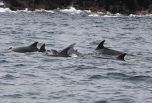 Bottlenose dolphins in Castlehaven Harbour