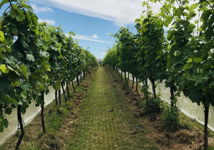 Cornwall's Vineyards – A Guide To The Cornish Wine Scene