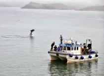 Delfinek a Newquay-öbölben
