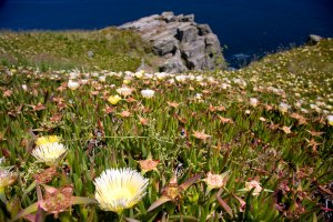 Hottentot Fig at The Lizard