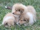 puppies bis 1