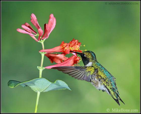 Viette's - plantas perennes para atraer mariposas & amp; Colibríes