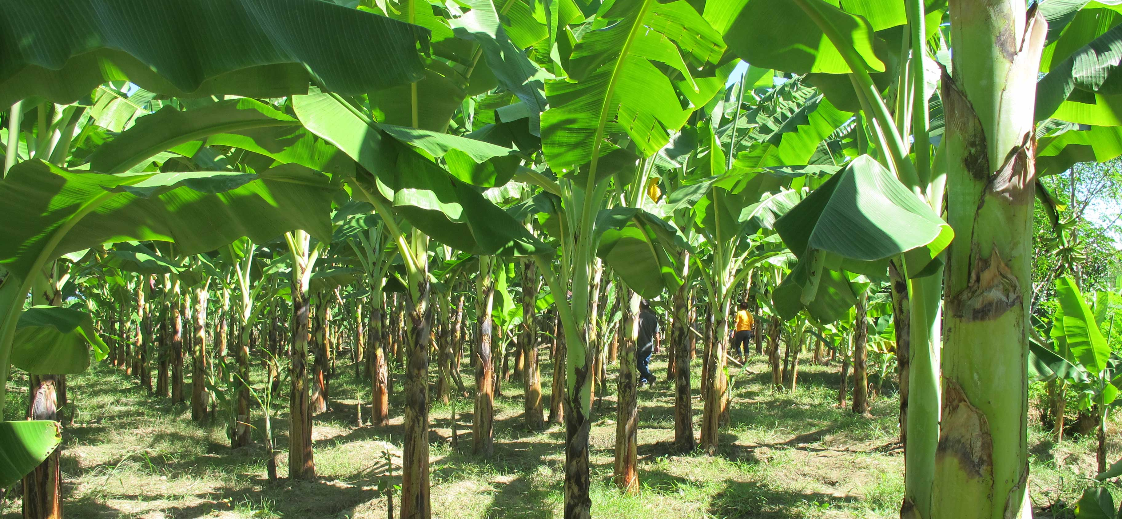 Everything you need to know about plantain farming