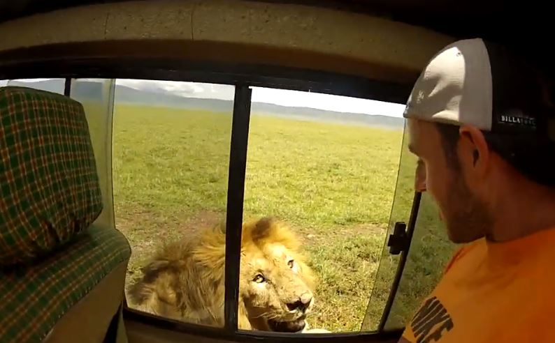 Tourist instantly regrets it after leaning out of open car window to pet lion (Video)