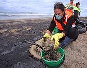 La pulizia della spiaggia di Mount Maunganui presso Tauranga, inquinata dal petrolio fuoriuscito dalle stive della Rena in Nuova Zelanda (Afp)
