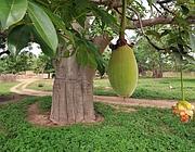 Il frutto del baobab (Afp)