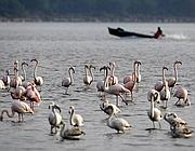 Fenicotteri rosa ad Orbetello