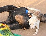 Solo e lo scimpanzé Koko