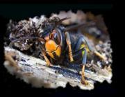 La vespa velutina