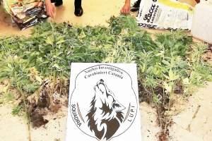Pedara, sorpreso mentre innaffia 60 piante di cannabis: in manette 34enne di Mascalucia