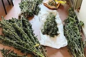 Ramacca, 61 piante di canapa indiana 'mimetizzate' nell'aranceto: 64enne arrestato in flagranza