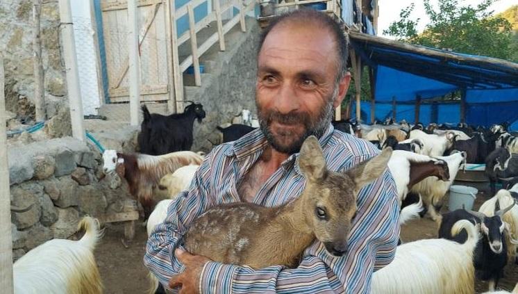 Yavru karacayı çoban buldu