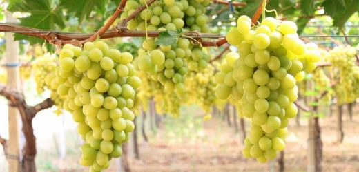 L'uva da tavola I.G.P di Mazzarrone.