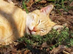 La nepeta cataria es conocida como la marihuana de los gatos por sus efectos alucinógenos